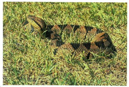 ... Jumping viper description, habitat and picture - Po